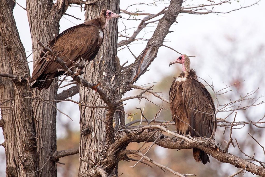 Vulture at Okavango Delta