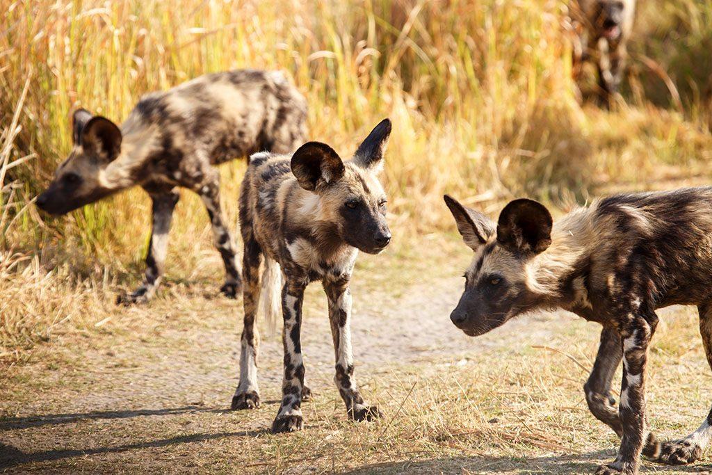 African Wild Dog at Okavango Delta