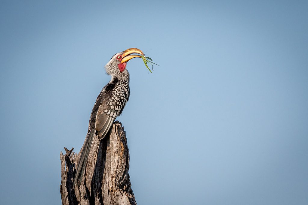 Yellow-billed hornbill with Praying matis in the Chobe National Park