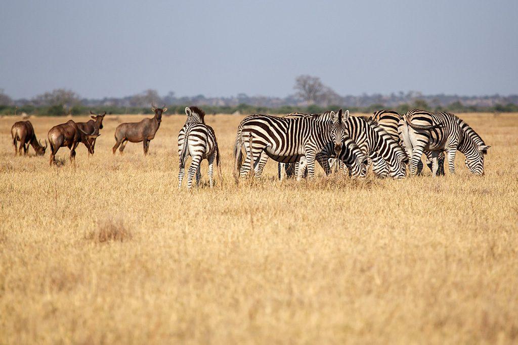 Plains Zebra - Chobe National Park,