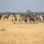 Plains Zebra - Chobe National Park,