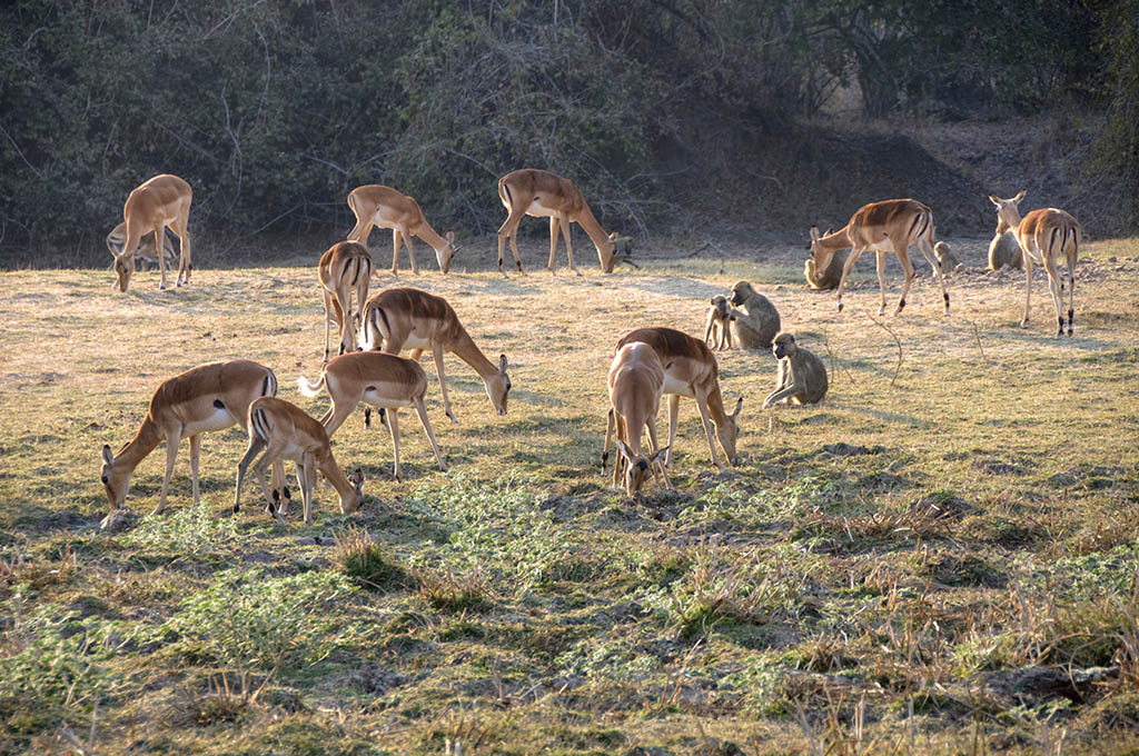 Impala grazing in early morning at Kafue National Park
