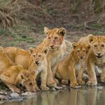 lion cubs taking a drink at Serengeti