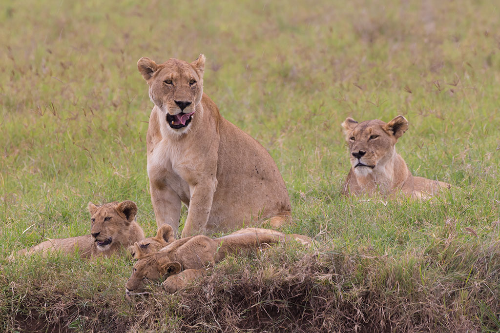 Lioness with her cubs in Ngorongoro crater consrvation area national park, Tanzania, Afrika.