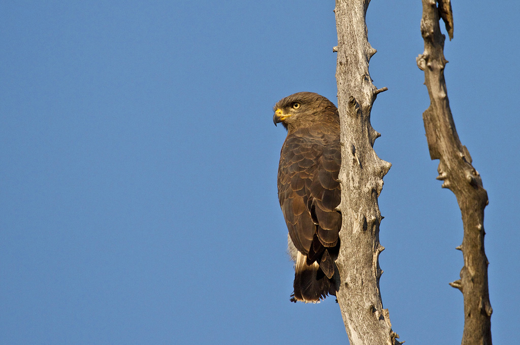 A brown Snake Eagle perched on a tree surveying the surrounding area for prey