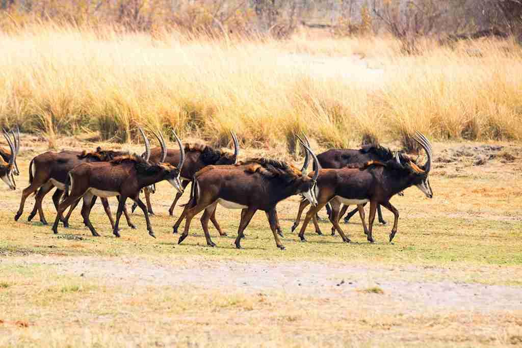 Sable Antelopes in Mahango GR, Namibia