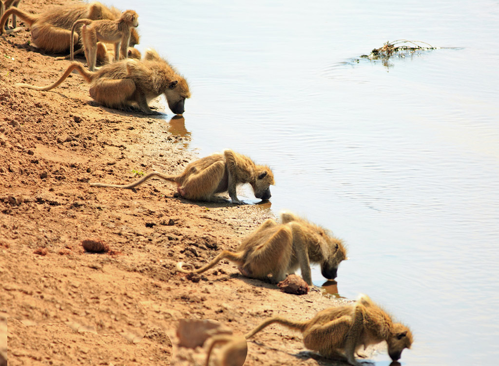 Troop of baboons with heads down drinking from the Luangwa river in Zambia, Southern Africa