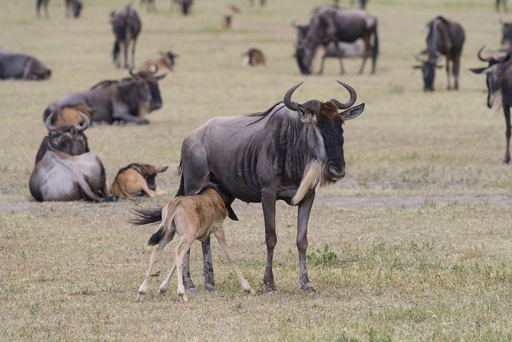 Wildebeest in Tanzania. Mother feeding new born animal.