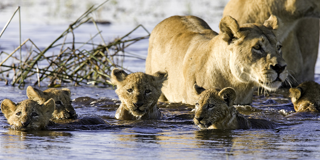 Lion cubs swimming with their mother lioness in Okavango