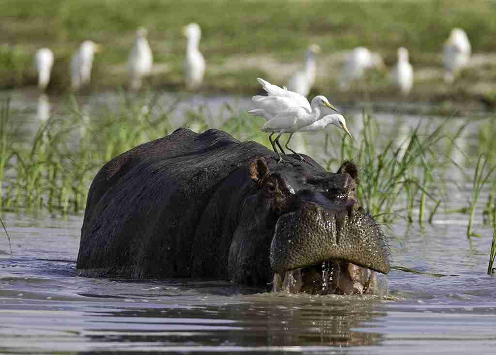 "Hippo and Egrets Okavango,Botswana"""