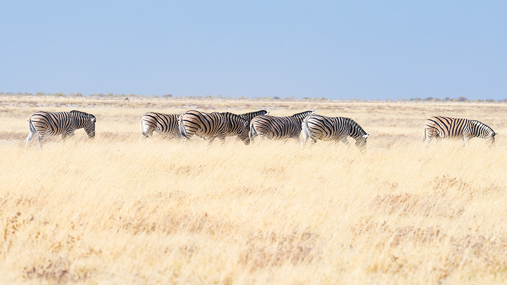 Zebras grazing in the bush, african savannah. Wildlife Safari, Etosha National Park