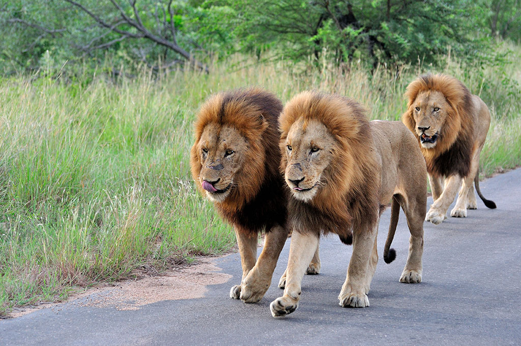 THREE MALE LIONS TAKING A WALK