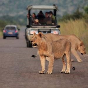 Three lions staying in front of te car in african safari. Lions pride up to close.