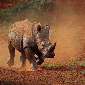 A white rhinoceros running in dust,