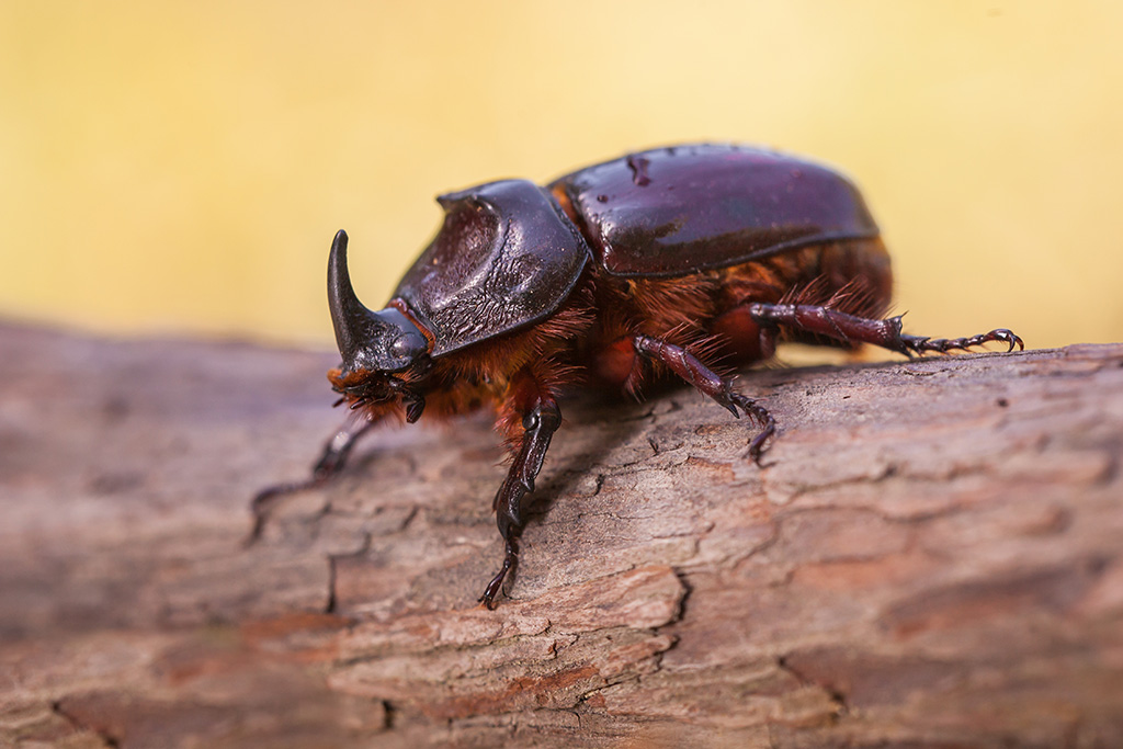 Rhinoceros Beetle With Beautiful Background